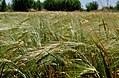 DSC 0044 Пшениця.jpg