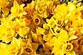 Daffodils St David's Day at the Senedd 2012 Dydd Gŵyl Dewi yn y Senedd.jpg