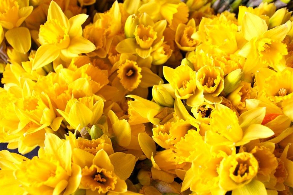 Daffodils St David's Day at the Senedd 2012 Dydd Gŵyl Dewi yn y Senedd