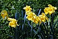 Daffodils in Great Canfield, Essex England.jpg