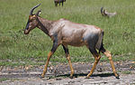 Damaliscus lunatus in Masai Mara, February 2007.jpg