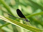 Damselfly July 2009-1.jpg