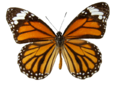 Danaus genutia transparent background.png