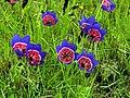 Darling Wildflower Reserve - Geissorhiza radians 1.JPG