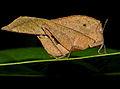 Dead-leaf Grasshopper (Chorotypus sp.) (15533481637).jpg