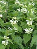 Deadnettle 800.jpg