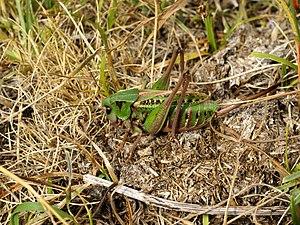 Néouvielle National Nature Reserve - Image: Decticus verrucivorus
