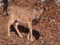 Deer, Mount Lebanon, 2015-02-20, 02.jpg