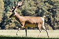 Deer - Woburn Abbey Deer Park (36274517120).jpg