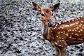 Deer in Mangrove Arboretum.jpg