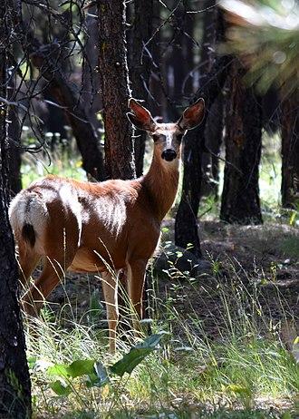 Mazama, Washington - Deer in Mazama on the last stretch of the Spokane Gulch Trail heading towards the Mazama Store.