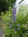 Delphinium sp. Caucasus - Flickr - peganum.jpg