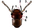 Dermaptera head.png