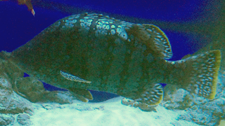 Smooth grouper Species of fish