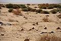 Deserto libico - Piccoli cocomeri essiccati - panoramio.jpg
