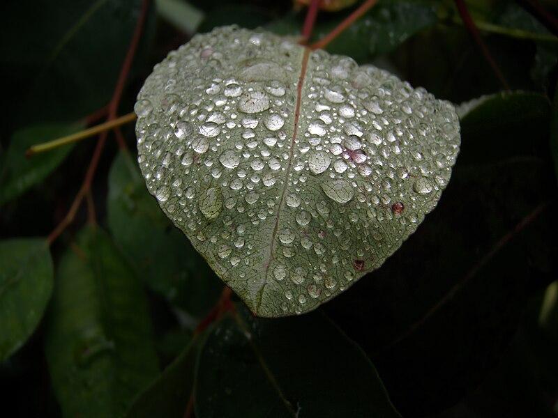 File:Dew on leaf 026.jpg