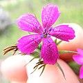 Dianthus armeria flower6 (13834439933).jpg