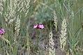 Dianthus carthusianorum pann.jpg