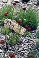 Dianthus pinifolius 1.jpg
