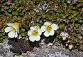 Diapensia lapponica and Pieris nana.jpg
