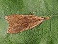 Dichomeris derasella - Выемчатокрылая моль плодовая (26010611637).jpg