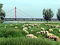 Die Rheinauen bei Duisburg vor der Beeckerwerther Brücke der A42 - panoramio.jpg