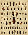 Die exotischen Käfer in Wort und Bild (1908) (20292534473).jpg