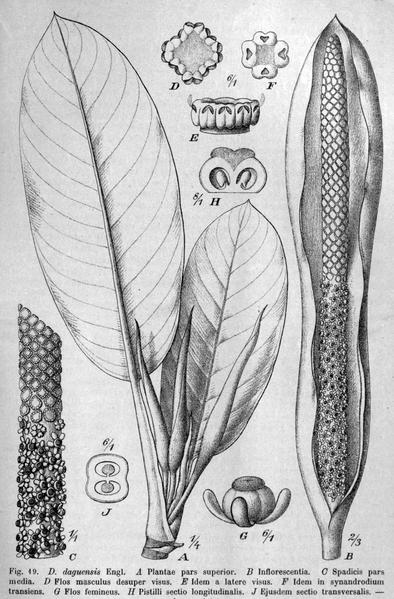 File:Dieffenbachia daguensis DPR.png