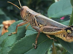 Hemolymph - A grasshopper has an open circulatory system, where hemolymph moves through interconnected sinuses or hemocoels, spaces surrounding the organs. Arthropod blood does not carry hemoglobin.