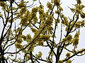 Dillenia pentagyna flowering by Dr. Raju Kasambe DSCN1362 (27).jpg