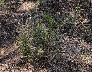 <i>Cleistochloa</i> genus of plants