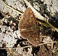 Dingy Skipper. Erynnis tages (44053443465).jpg