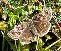 Dingy Skipper. Erynnis tages - Flickr - gailhampshire (1).jpg
