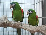 Diopsittaca nobilis -two captive-8a.jpg