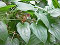 Dioscorea polystachya vine.jpg