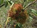 Diplolepis rosae (Cynipidae) - (gall), Molenhoek, the Netherlands.jpg