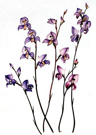 Disa (plant) - Disa purpurascens Bolus