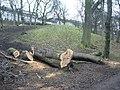 Diseased trees in London Road Gardens - geograph.org.uk - 1727216.jpg