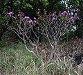Dissotis on Mount Ribaue (10208476286).jpg