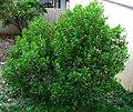 Dodonaea viscosa (5187413259).jpg