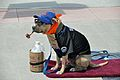 Dog in shirt NY Mets.jpg
