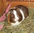 Domesticated guinea pig juvenile.jpg