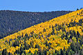 Dominant Aspen on mountainside (3972238598).jpg