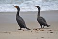 Double-Crested Cormorants (5974497749).jpg