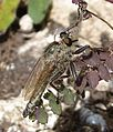 Downland Robber Fly. Asilidae. Machimus rusticus - Flickr - gailhampshire.jpg