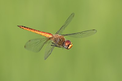 Dragonfly in flight, in Laos.jpg