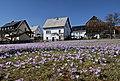 Drebacher Krokuswiesen..2H1A0428WI.jpg