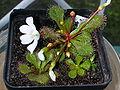 Drosera whittakeri ssp aberransFloweringPlant1.jpg