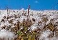 Dryas octopetala seeds 01.jpg
