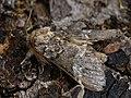 Drymonia dodonaea - Marbled brown - Зубчатый шелкопряд беспятнистый (39328653340).jpg